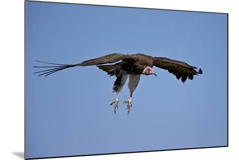 Hooded Vulture (Necrosyrtes Monachus) in Flight on Approach to Landing-James Hager-Mounted Photographic Print