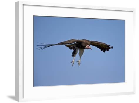 Hooded Vulture (Necrosyrtes Monachus) in Flight on Approach to Landing-James Hager-Framed Art Print
