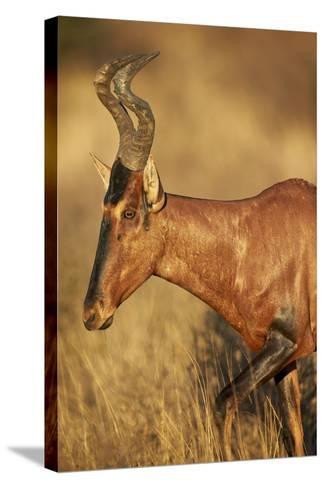 Red Hartebeest (Alcelaphus Buselaphus)-James Hager-Stretched Canvas Print
