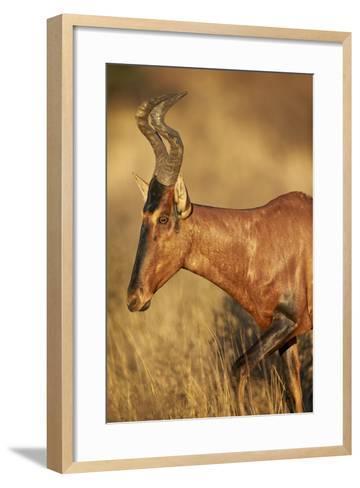 Red Hartebeest (Alcelaphus Buselaphus)-James Hager-Framed Art Print
