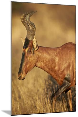 Red Hartebeest (Alcelaphus Buselaphus)-James Hager-Mounted Photographic Print