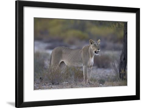 Lioness (Panthera Leo), Kgalagadi Transfrontier Park-James Hager-Framed Art Print