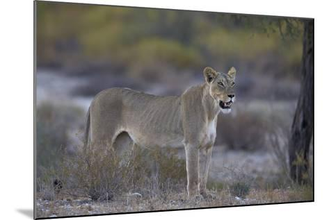 Lioness (Panthera Leo), Kgalagadi Transfrontier Park-James Hager-Mounted Photographic Print