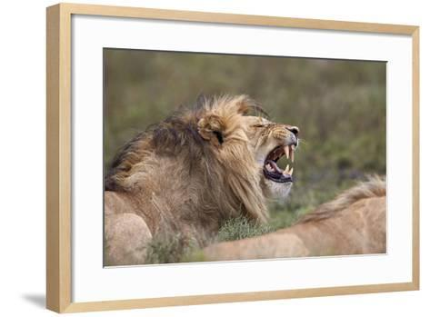 Lion (Panthera Leo) Demonstrating the Flehmen Response-James Hager-Framed Art Print