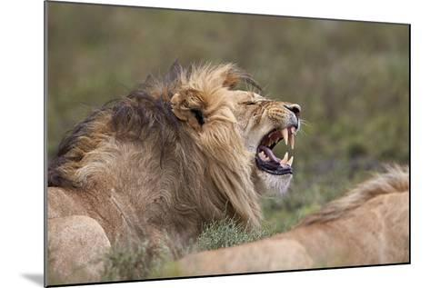 Lion (Panthera Leo) Demonstrating the Flehmen Response-James Hager-Mounted Photographic Print