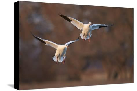 Two Snow Goose (Chen Caerulescens) Landing-James Hager-Stretched Canvas Print