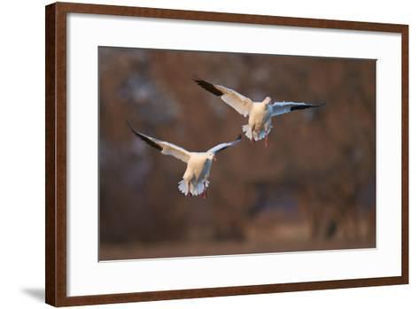Two Snow Goose (Chen Caerulescens) Landing-James Hager-Framed Art Print