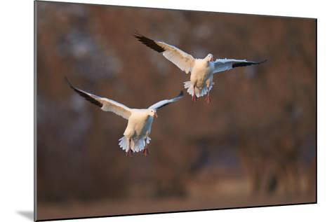 Two Snow Goose (Chen Caerulescens) Landing-James Hager-Mounted Photographic Print