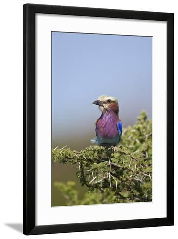 Lilac-Breasted Roller (Coracias Caudata)-James Hager-Framed Art Print