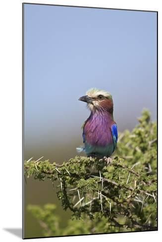 Lilac-Breasted Roller (Coracias Caudata)-James Hager-Mounted Photographic Print