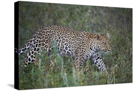 Leopard (Panthera Pardus), Ngorongoro Conservation Area, Serengeti, Tanzania, East Africa, Africa-James Hager-Stretched Canvas Print