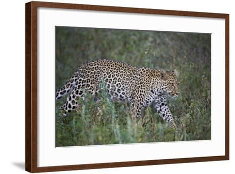 Leopard (Panthera Pardus), Ngorongoro Conservation Area, Serengeti, Tanzania, East Africa, Africa-James Hager-Framed Art Print
