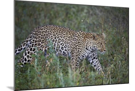 Leopard (Panthera Pardus), Ngorongoro Conservation Area, Serengeti, Tanzania, East Africa, Africa-James Hager-Mounted Photographic Print