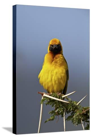 Lesser Masked Weaver (Ploceus Intermedius), Ngorongoro Crater, Tanzania, East Africa, Africa-James Hager-Stretched Canvas Print