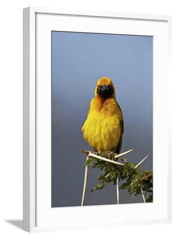 Lesser Masked Weaver (Ploceus Intermedius), Ngorongoro Crater, Tanzania, East Africa, Africa-James Hager-Framed Art Print