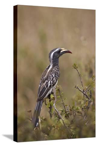 African Grey Hornbill (African Gray Hornbill) (Tockus Nasutus)-James Hager-Stretched Canvas Print