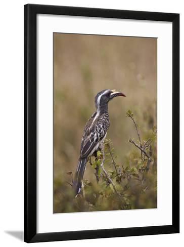 African Grey Hornbill (African Gray Hornbill) (Tockus Nasutus)-James Hager-Framed Art Print