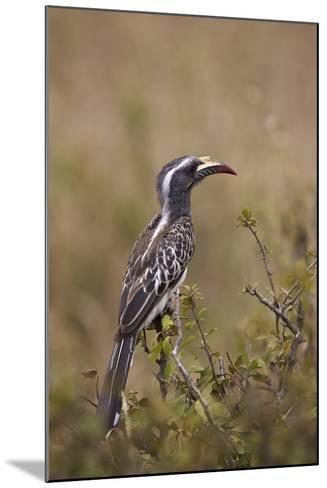 African Grey Hornbill (African Gray Hornbill) (Tockus Nasutus)-James Hager-Mounted Photographic Print