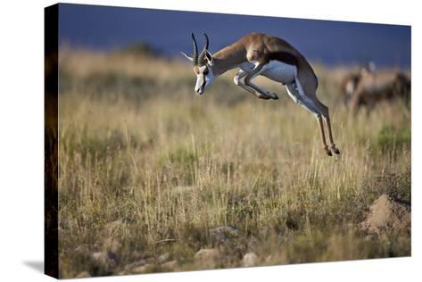 Springbok (Antidorcas Marsupialis) Buck Springing or Jumping-James Hager-Stretched Canvas Print