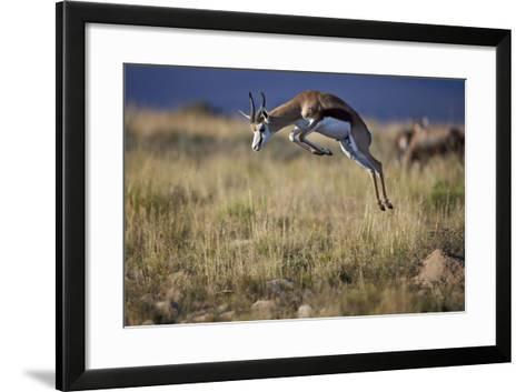 Springbok (Antidorcas Marsupialis) Buck Springing or Jumping-James Hager-Framed Art Print