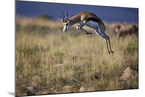 Springbok (Antidorcas Marsupialis) Buck Springing or Jumping-James Hager-Mounted Photographic Print