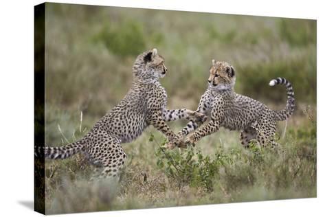 Cheetah (Acinonyx Jubatus) Cubs Playing, Serengeti National Park, Tanzania, East Africa, Africa-James Hager-Stretched Canvas Print