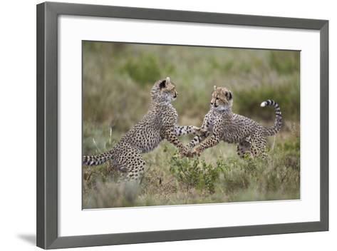 Cheetah (Acinonyx Jubatus) Cubs Playing, Serengeti National Park, Tanzania, East Africa, Africa-James Hager-Framed Art Print