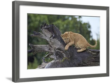 Lion (Panthera Leo) Cub on a Downed Tree Trunk in the Rain-James Hager-Framed Art Print