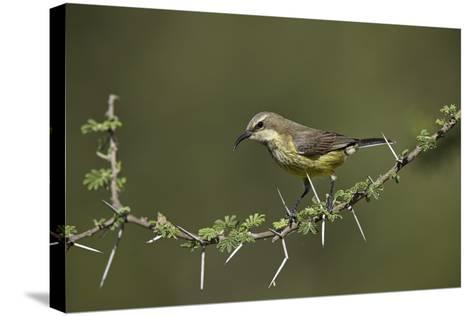 Beautiful Sunbird (Cinnyris Pulchella)-James Hager-Stretched Canvas Print
