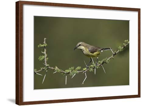 Beautiful Sunbird (Cinnyris Pulchella)-James Hager-Framed Art Print