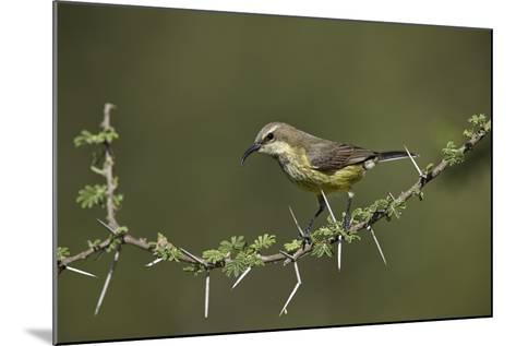 Beautiful Sunbird (Cinnyris Pulchella)-James Hager-Mounted Photographic Print