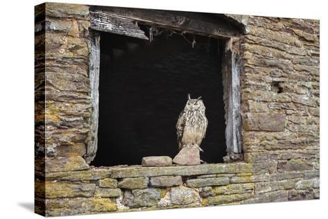 Indian Eagle Owl (Bubo Bengalensis), Herefordshire, England, United Kingdom-Janette Hill-Stretched Canvas Print