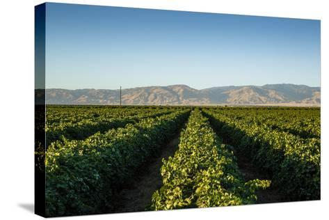 Vineyards in San Joaquin Valley, California, United States of America, North America-Yadid Levy-Stretched Canvas Print