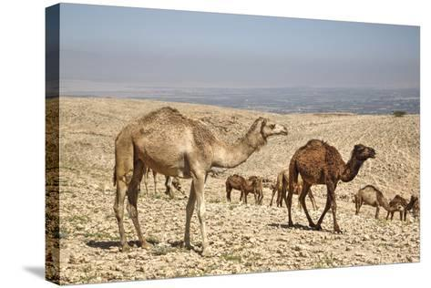 Camels Near the Dead Sea, Jordan, Middle East-Richard Maschmeyer-Stretched Canvas Print