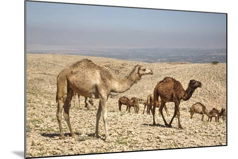 Camels Near the Dead Sea, Jordan, Middle East-Richard Maschmeyer-Mounted Photographic Print