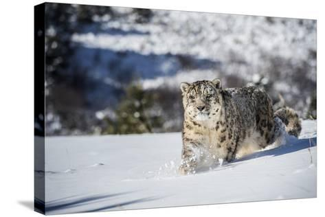 Snow Leopard (Panthera India), Montana, United States of America, North America-Janette Hil-Stretched Canvas Print