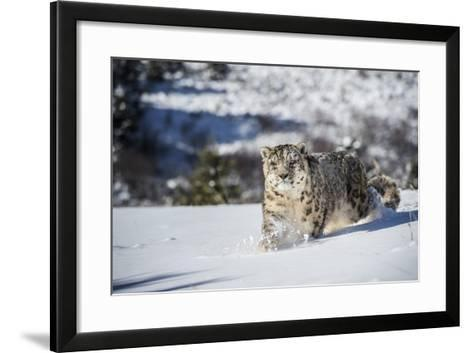Snow Leopard (Panthera India), Montana, United States of America, North America-Janette Hil-Framed Art Print