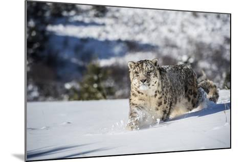 Snow Leopard (Panthera India), Montana, United States of America, North America-Janette Hil-Mounted Photographic Print