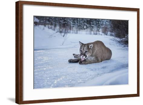Mountain Lion (Puma) (Cougar) (Puma Concolor), Montana, United States of America, North America-Janette Hil-Framed Art Print
