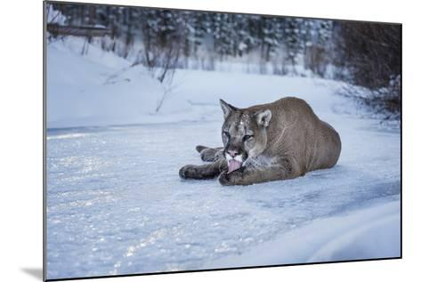 Mountain Lion (Puma) (Cougar) (Puma Concolor), Montana, United States of America, North America-Janette Hil-Mounted Photographic Print