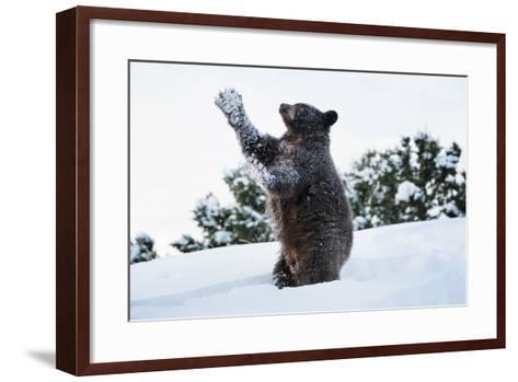 Black Bear (Ursus Americanus), Montana, United States of America, North America-Janette Hil-Framed Art Print