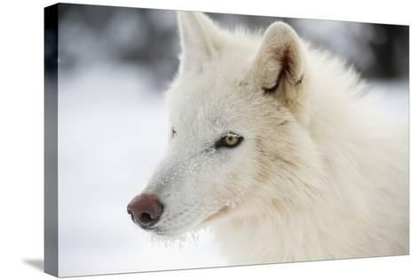 Arctic Wolf (Canis Lupus Arctos), Montana, United States of America, North America-Janette Hil-Stretched Canvas Print
