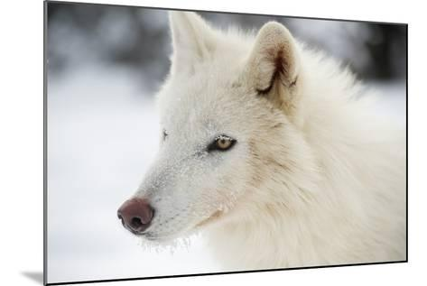 Arctic Wolf (Canis Lupus Arctos), Montana, United States of America, North America-Janette Hil-Mounted Photographic Print
