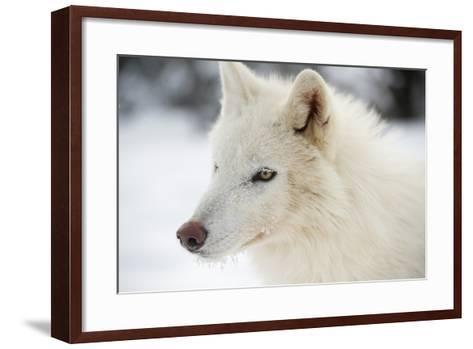 Arctic Wolf (Canis Lupus Arctos), Montana, United States of America, North America-Janette Hil-Framed Art Print