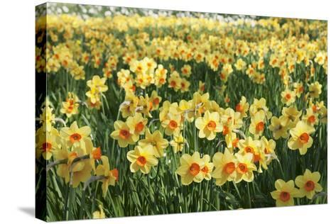 Field of Narcissi, Mainau Island in Spring, Lake Constance, Baden-Wurttemberg, Germany, Europe-Markus Lange-Stretched Canvas Print