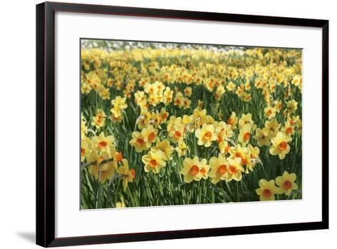 Field of Narcissi, Mainau Island in Spring, Lake Constance, Baden-Wurttemberg, Germany, Europe-Markus Lange-Framed Art Print
