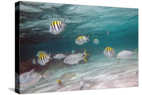 Multicolored Fish Swim Peacefully at Stingray City, Antigua, Leeward Islands, West Indies-Roberto Moiola-Stretched Canvas Print