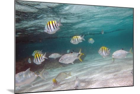 Multicolored Fish Swim Peacefully at Stingray City, Antigua, Leeward Islands, West Indies-Roberto Moiola-Mounted Photographic Print
