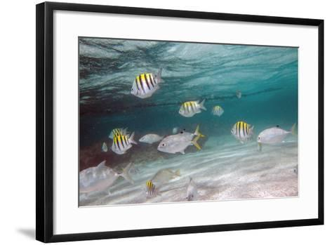 Multicolored Fish Swim Peacefully at Stingray City, Antigua, Leeward Islands, West Indies-Roberto Moiola-Framed Art Print