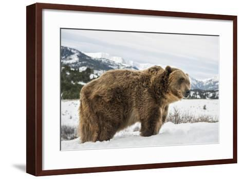 Brown Bear (Grizzly) (Ursus Arctos), Montana, United States of America, North America-Janette Hil-Framed Art Print